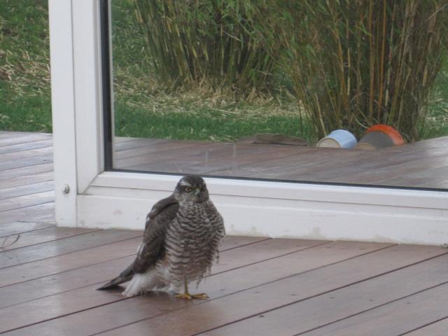 junger Sperber nach Kontakt mit Wintergarten 31.12.2012